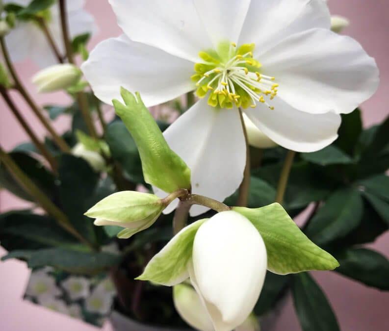 Seasonal Flower: Hellebores