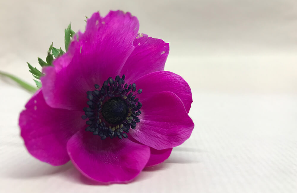 Seasonal Flower: Anemone